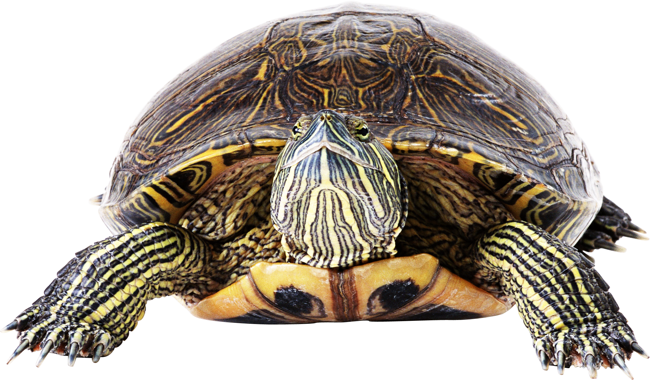 BonusCursos.com  bonuscursos.com BonusCursos.com turtle PNG49
