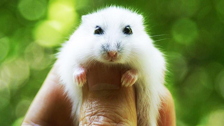cuidados de los roedores domésticos Cuidados de los Roedores Domésticos cuidados roedores domesticos